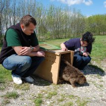 Vypúšťanie bobrice späť do Rusovského ramena, ktoré bolo aje jej domovom. Zdroj: archív ZOO Bojnice